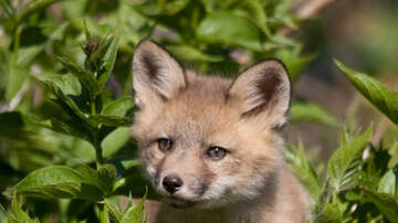 Bull Morning Show - Farmer Saves Fox Baby Foxes