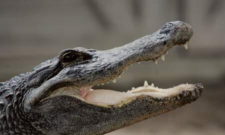 Florida News - FHP: 12 Foot Gator Found Along I-10 Near Tallahassee
