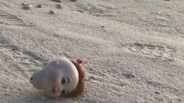 Jake Dill - Hermit Crab Uses Doll Head as Shell
