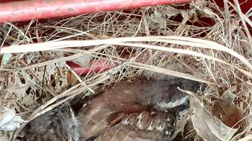 Laura Anderson - WATCH:  Birds babies in a toolbox nest fed by Momma Bird