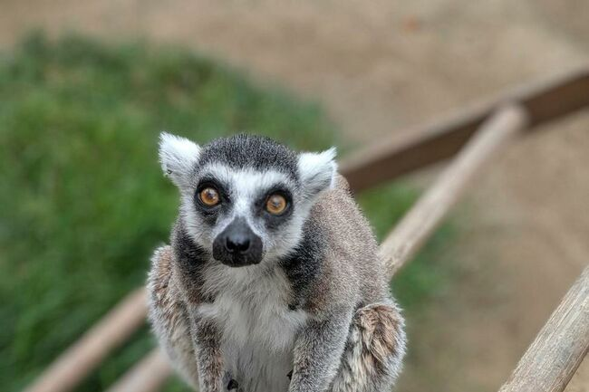 lemur returned