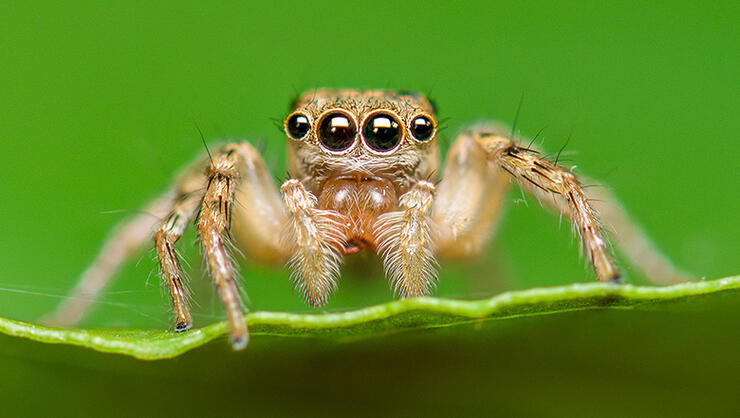 Close-up of Salticus scenicus or jumping spider on leaf