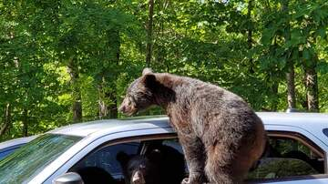 Lori - Man Finds Bears Hanging Out In His Car In Gatlinburg