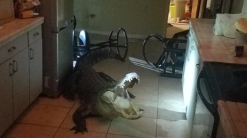 Weird, Odd and Bizarre News - Florida Family Finds Unwelcome 11-Foot Alligator In Their Kitchen