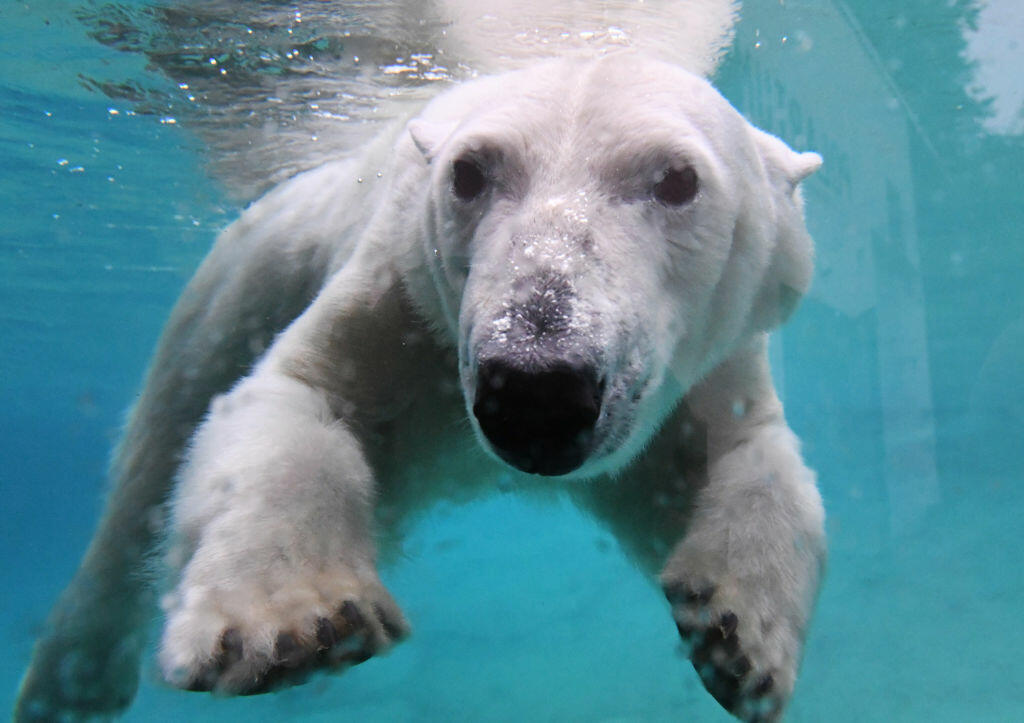 VIDEO Polar Bear At San Diego Zoo Eats Live Duck
