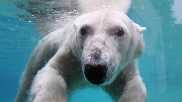 The Latest From Rock - VIDEO Polar Bear At San Diego Zoo Eats Live Duck