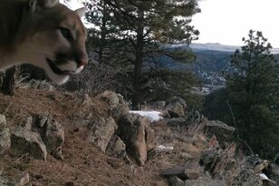Trail Cam Catches Mountain Lion Making Unusual Noise