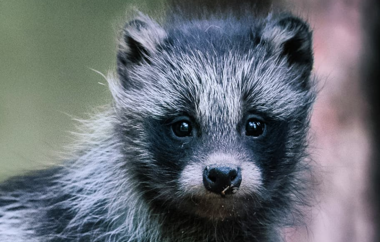 "Everything You Need To Know About The Adorable ""Raccoon Dog""   