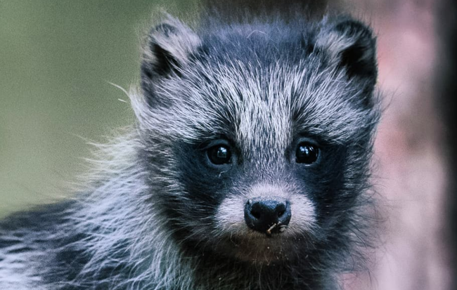 "Everything You Need To Know About The Adorable ""Raccoon Dog"""