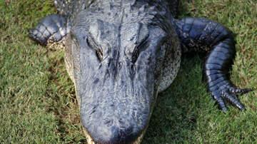 Shawn Carey - Alligator Vs Patrol Car