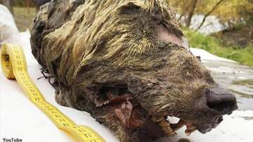 Coast to Coast AM with George Noory - 40,000-Year-Old Severed Wolf's Head Found in Siberia