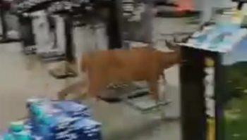 Brad Ford - Deer Breaks Into Dick's Sporting Goods