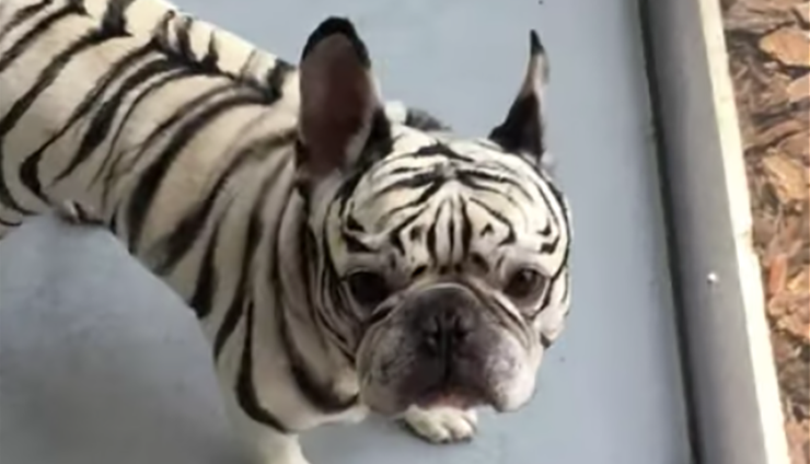 Make Up Artist Unbelievably Transforms Dog To Cheer Up