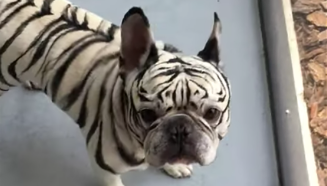 Make-Up Artist Unbelievably Transforms Dog To Cheer Up Sister