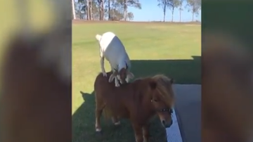 BC - Goat Riding On Pony's Back Is Friendship Goals
