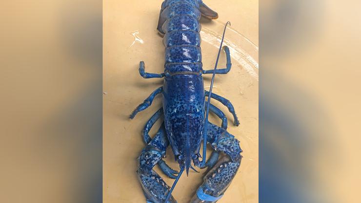Massachusetts Restaurant Shows Off Rare Blue Lobster | iHeartRadio