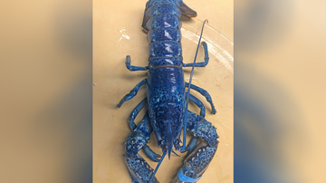National News - Massachusetts Restaurant Shows Off Rare Blue Lobster