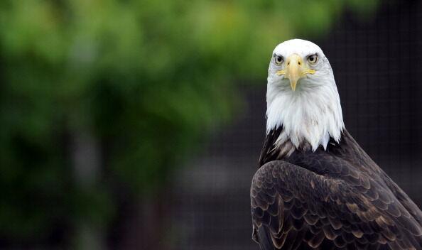 A Bald Eagle (pygargue à tête blanche) i