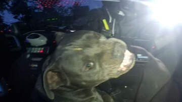 Weird News - Runaway Pit Bull Jumps Into Police Car, Finds Beef Jerky, Refuses To Leave