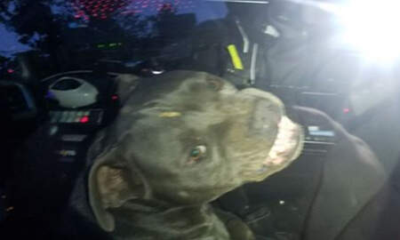 Noticias Nacionales - Runaway Pit Bull Jumps Into Police Car, Finds Beef Jerky, Refuses To Leave