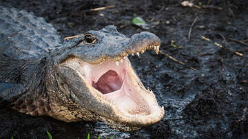 Weird News - Alligator Bites Deputy's Arm As He Tries To Tape Its Mouth Shut