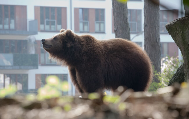 brown bear in the city