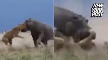 Frank Bell - Lion Messes With Hippo and Gets Whats Coming