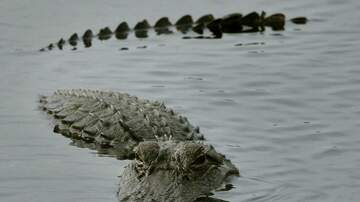 Local News - Gretna Issuing Gator Warning