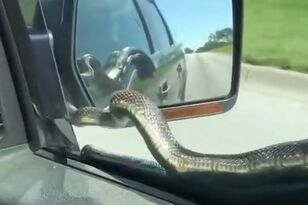 Snake Hitches Ride on Moving Car