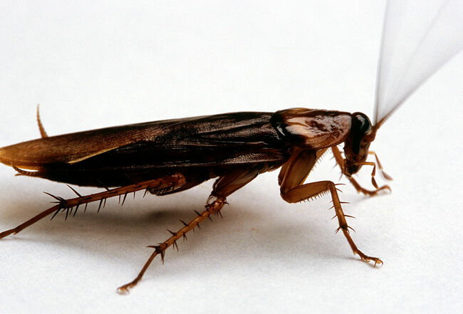 Large Cockroach On A White Surface.