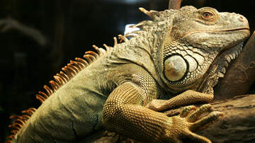 The Morning Rush - Will The Cold Weather Kill Off The Iguanas In South Florida?