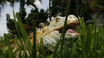 Brian Mudd - Q&A – FWC's Decision To Encourage Killing Green Iguanas