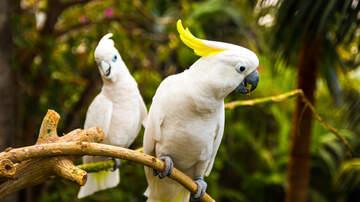 Perez - WATCH - Barking Cockatoo Goes Viral