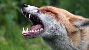 Monet Sutton - Rabid Fox Attacks!