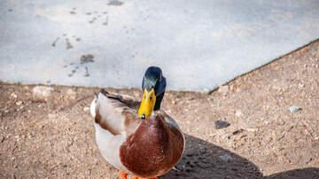Chuck Britton - Lady Taking Pet Duck for a Walk