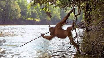 Jake Dill - Orangutan Caught Copying Fishing Techniques After Watching Local Fishermen