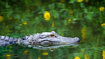 Karlson, McKenzie and Heather - Alligator Swimming Free In A Chicago Pond?!?!