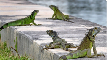 BC - Iguana Hunter Misses Target, Hits Pool Boy With Pellet Gun