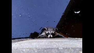Call me Furious...... Mr. Furious! - Man Saves Baby Raccoon from Drowning