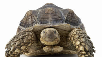 Marco & Joanna in the Morning - The Case Of The Missing Henderson Tortoise