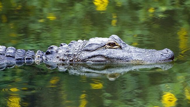 American Alligator Swimming in Everglades