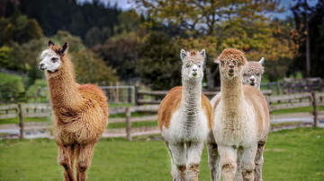 Karlson, McKenzie and Heather - Question: Are Llamas The Next Comfort Animal Dujour ?