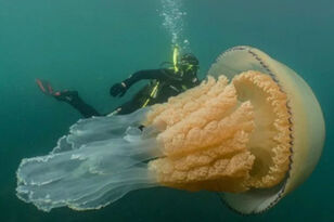Diver Spots Human-Sized Jellyfish Off The Coast Of England