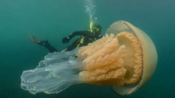 National News - Diver Spots Human-Sized Jellyfish Off The Coast Of England