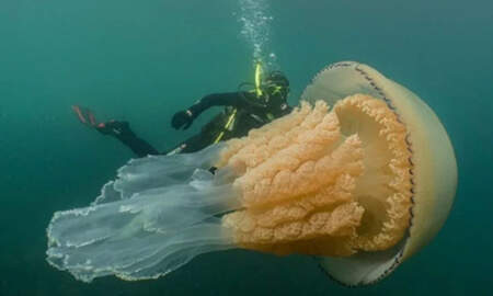 Weird News - Diver Spots Human-Sized Jellyfish Off The Coast Of England