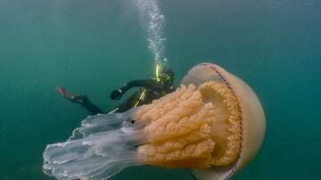 Corey & Patrick In The Morning - Divers spot human-sized jellyfish off English coast