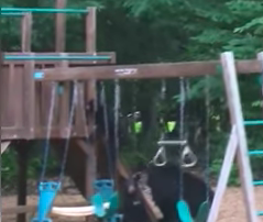 JB - ***VIDEO*** Kids Watch Bear Cubs Play With Their Swing Set
