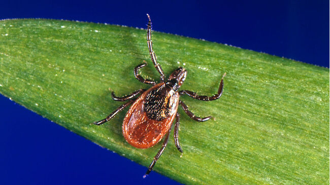 Black-Legged Ticks