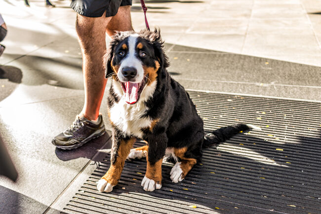 Funny happy Australian Shepherd dog New York City, Midtown Manhattan, NYC closeup with calico orange, black, white color, smiling, tongue out of mouth on street