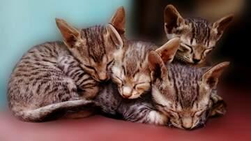 None - Forgotten Cats Kitten Adoption Palooza